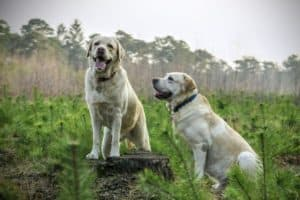 two large yellow labradors sitting pretty in a field